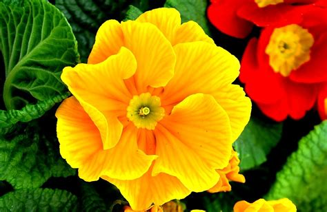 primula fiore primula coltivazione