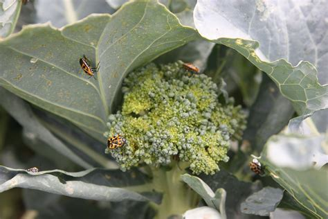 broccoli plant diseases fafardgrowing broccoli cabbage cauliflower and kale