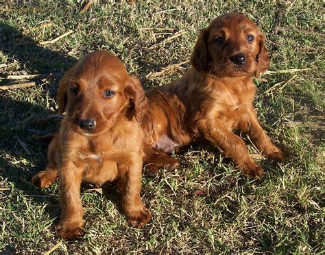 red setter dog rehoming irish red setter on pinterest irish setter irish and
