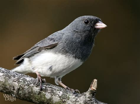 dark eyed junco wild delightwild delight
