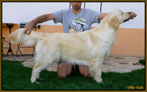 4 month golden retriever weight golden retriever 4 meses dogs in our photo