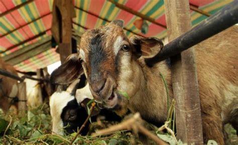 Kambing Kurban anggota dprd dki sumbangkan 20 kambing kurban