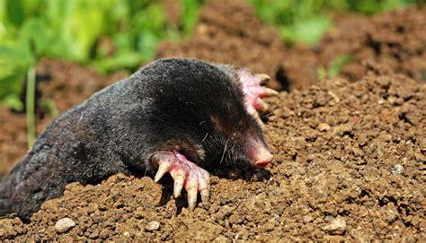 il giardino della talpa gestione e controllo delle talpe con nuova topolin torino