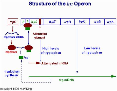 r protein operon trp operon