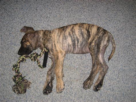 brindle great dane puppy 10 week brindle great dane animal