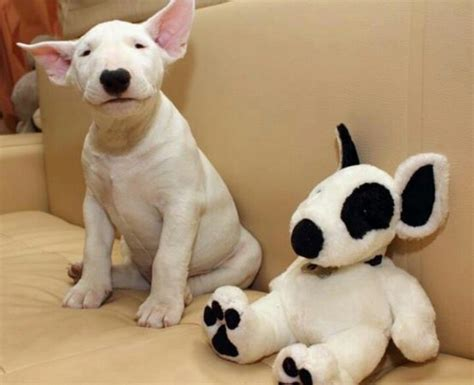 bull terrier puppies 12 reasons why you should never own bull terriers