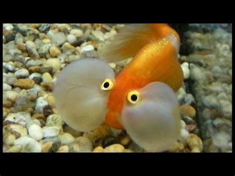 Ugliest Color In The World the funniest fish ever funny but ugly and scary fish