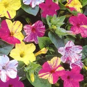 imagenes flores maravillas maravilha mirabilis jalapa imagina 231 227 o ativa