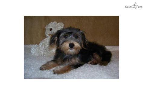 all about yorkies personality terrier yorkie puppy for sale near st louis missouri f2bc17f9 e2c1