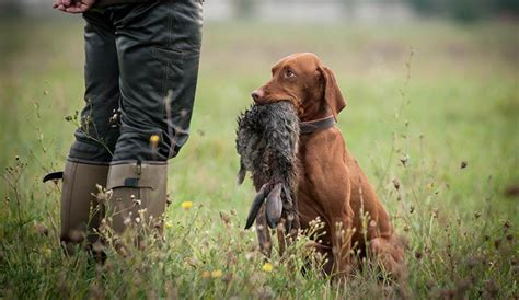 how to gun dogs dogs