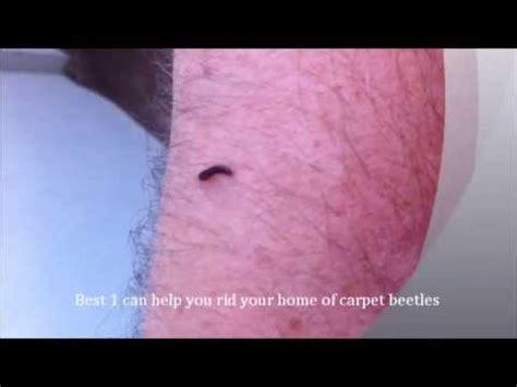 how to get rid of carpet beetles in my bedroom get rid of carpet beetles call best 1 cleaning pest
