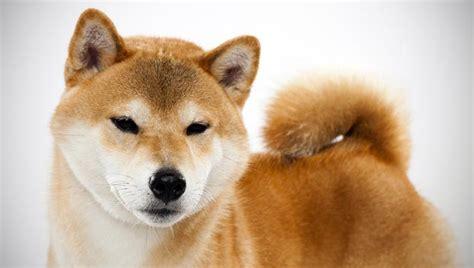 shiba dogs shiba inu breed selector animal planet