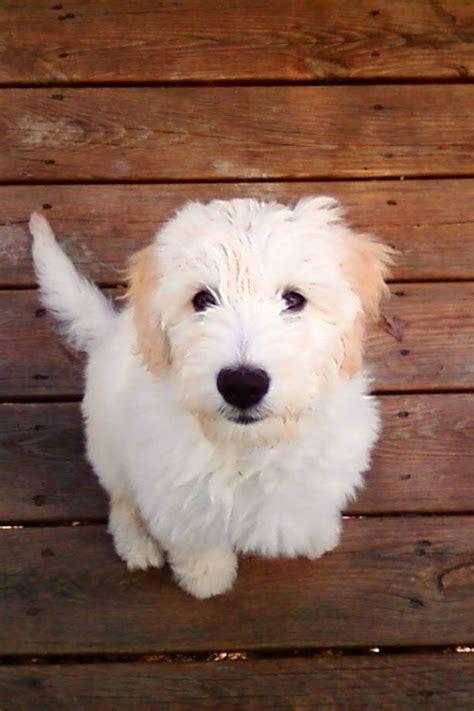 mini labradoodles hawaii 17 best images about hi i m tilly on poodles