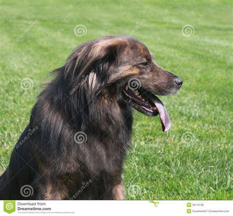 pics of long hair dark browm terriers grote bruine hond met lang haar stock foto afbeelding