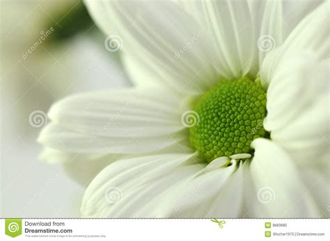white chrysanthemum books white chrysanthemum stock photo image 9683680