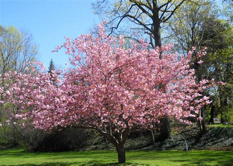 pink magnolia tree pink magnolia tree by westernsaddle photo weather underground