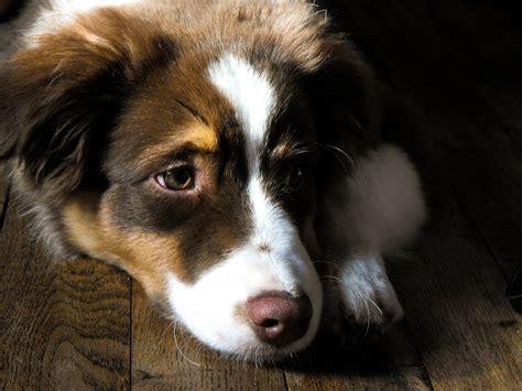 australian shepherd dogs 101 australian shepherd aussie dogs 101 interesting facts information animal facts