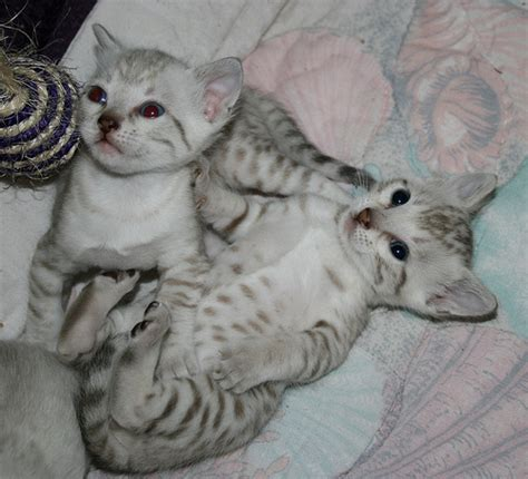 seal lynx point spotted snow bengal kitten by junglelure bengals of seal mink and seal lynx point spotted snow bengal kittens