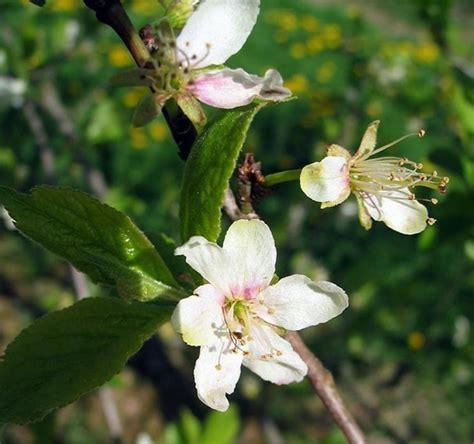 fiori di susino susino prunus domestica prunus domestica frutteto