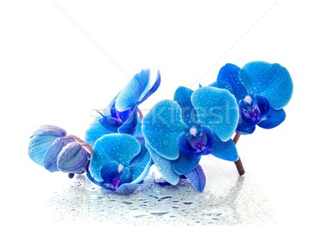 orchid blue water reflection flowers beautiful orchid orchid stock photos stock images and vectors stockfresh