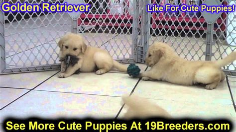 golden retriever puppies pennsylvania golden retriever puppies for adoption in pa assistedlivingcares