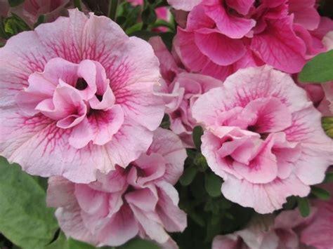 fiore petunia petunia petunia piante annuali scopri come coltivare