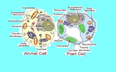 structure of animal cell and plant cell under microscope 301 moved permanently