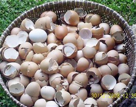 cangkang telur bisa jadi pakan ternak gembala intelektual