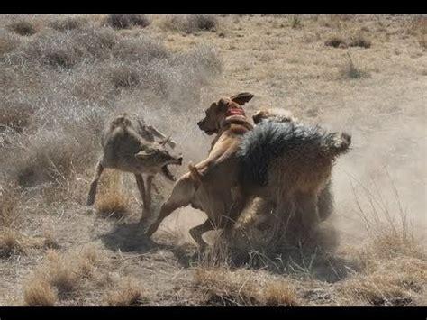 coyote vs coyote vs labrador pitbull vs coyote wolf vs coyote ultimate fight defense