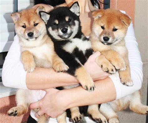 shiba inu puppies price shiba price supplements