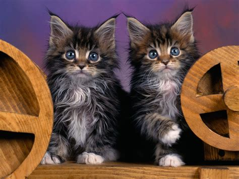 cat k wallpaper wallpapers maine coon kittens