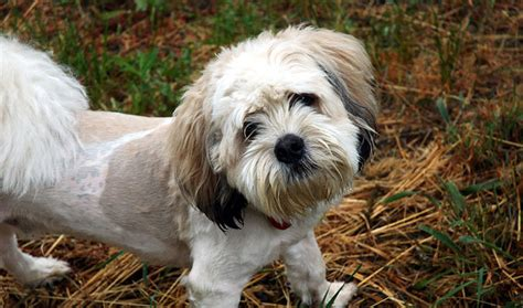 miniature shih tzu span shihpoo breed information