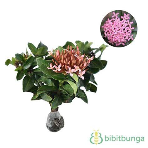 Keranjang Kepiting Soka tanaman soka merah jepang ixora bibitbunga