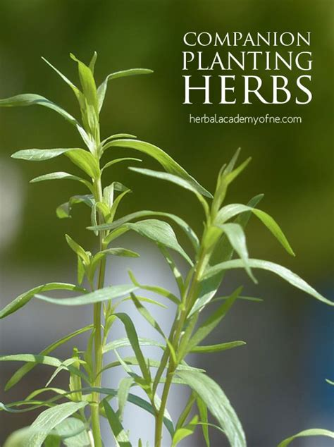 herb garden plants companion planting herbs and other veggies diy herb