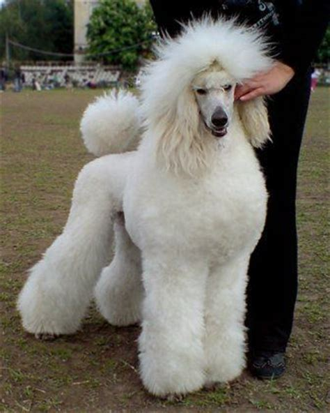 french puddle hair cut 1149 best standard poodles images on pinterest