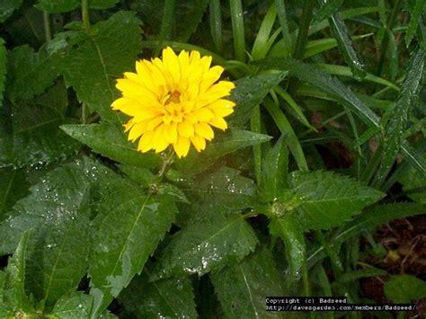 PlantFiles Pictures: False Sunflower, Rough Heliopsis, Orange Sunflower, Ox Eye 'Summer Sun