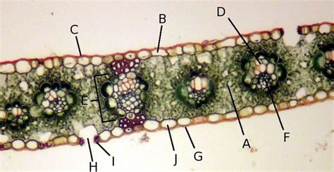 corn leaf cross section 92 best images about botany on pinterest pine plants