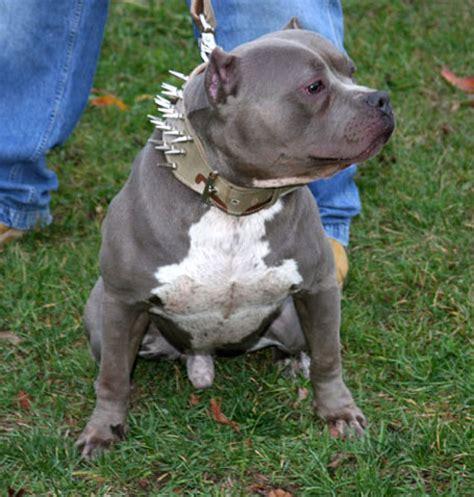gotti pitbull puppies capone gottiline pitbull bully pitbull breeders gotti line pitbull males