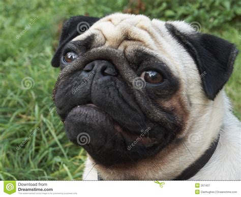 pug royalty pug royalty free stock photography image 267437