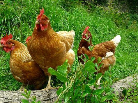 animali da cortile definizione adopte une poule ou comment quot l ub 233 risation quot gagne les