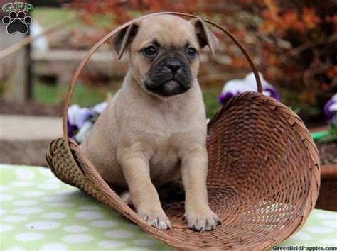 pug golden retriever mix the world s catalog of ideas