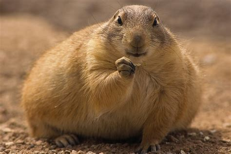 pictures of prairie dogs groundhog or prairiedog bigstock