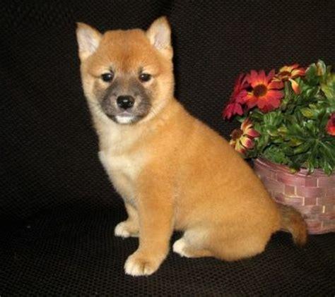 teacup shiba inu puppies for sale shiba inu puppies