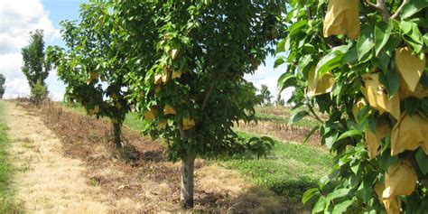fruit trees in pa asian pear trees with the best varieties of fruit grown in