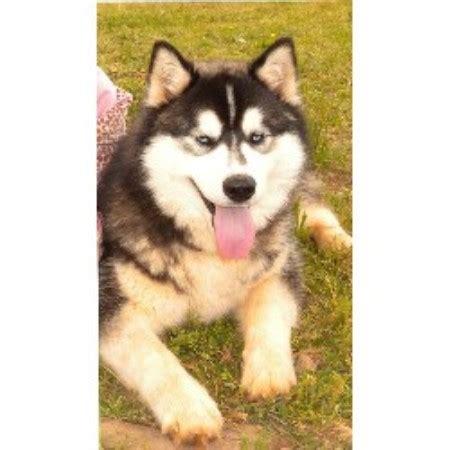 husky puppy rescue siberian husky puppy rescue ga wroc awski informator internetowy wroc aw wroclaw