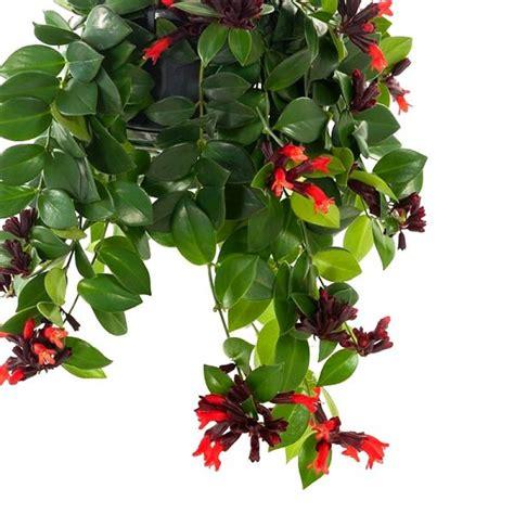 buy lipstick vine plant  india   price