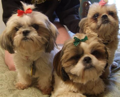 facts about shih tzu shih tzu breed information puppies pictures