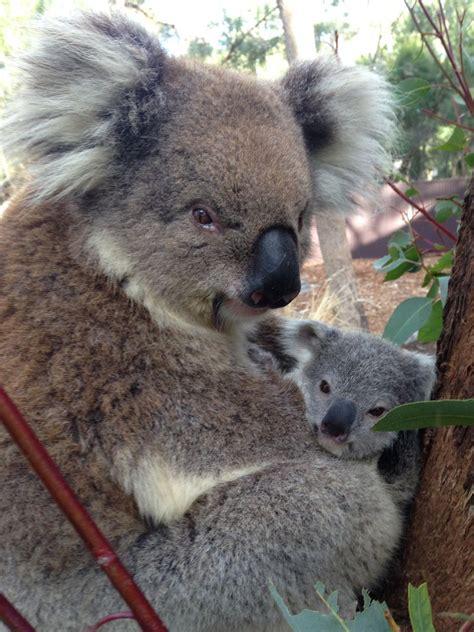female koala pouch august 2014 zooborns