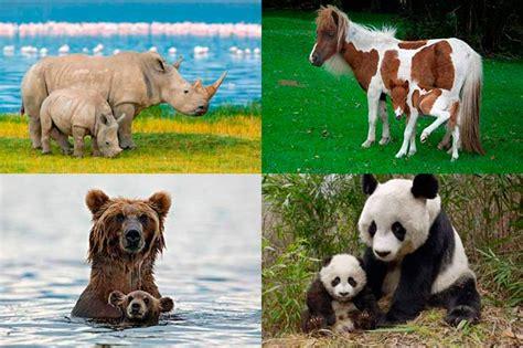 imagenes animales con sus crias fotos las m 225 s tiernas im 225 genes de pap 225 s animales y sus