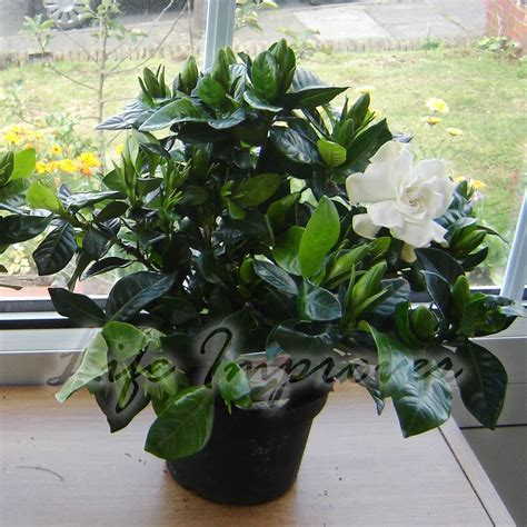 fragrant house plants 1 scented fragrance gardenia evergreen indoorn